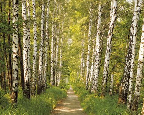 """Фотообои на стену """"Березовый лес."""
